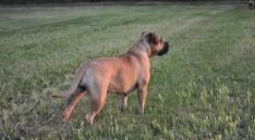 Immermoed Ottlelien - Boerboel pups