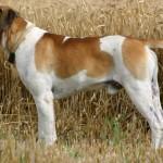 Boerboel Reu Baden Bolero (Billy) 2