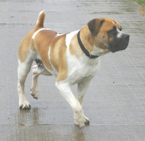 Boerboel Reu Baden Bolero (Billy) 1