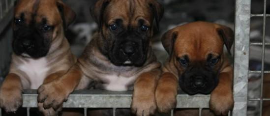 Wat kost een Boerboel pup