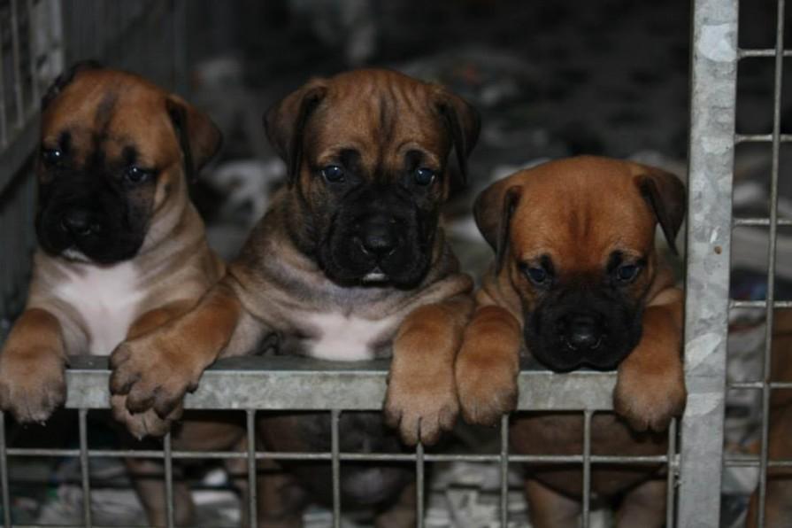 Wat kost een boerboel pup for Wat kost een professionele behanger